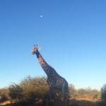 Lunar_Giraffa